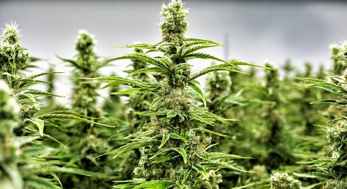 Is Investing in Cannabis Stocks a Smart Choice in 2019?